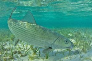 Bonefish1