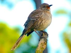 bahama-mockingbird-variant-abaco-14.jpg